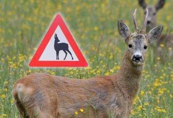 EGET SKILT? Rådyr kan ofte finne på å krysse veien på andre steder og til andre tider enn elg og hjort. Montasjefoto: Ytterøya Utmarkslag/John Øystein Berg, NJFF