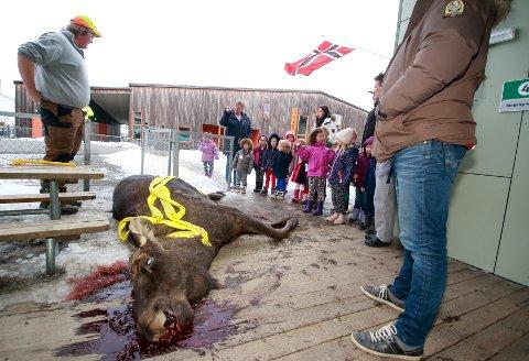 Dramatikk da elgokse på 500 kg falt ca. 6 meter ned fra et tak i Augerød barnehage i Våler.