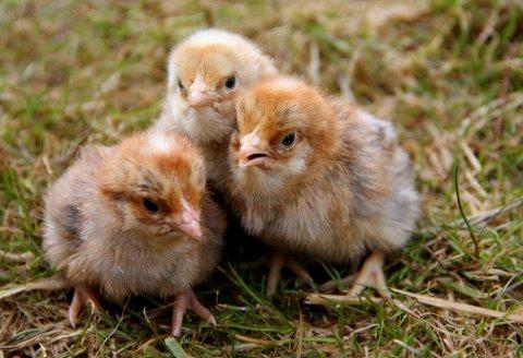 USKYLDIGE MEN FARLIGE: Frittgående fjørfe i private hager kan i verste fall være en smittekilde til fugleinfluensa.