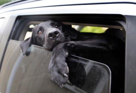 Ikke etterlat hunden i bilen i sommervarmen. Det holder ikke bare å åpne vinduet.