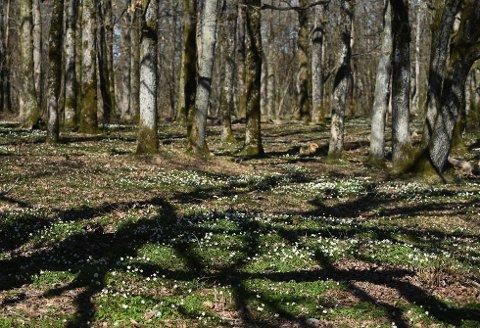 EIKESKOGEN: Jomfruland er kjent for eikeskogen sin. Den egner seg til å fantasere seg inn i en eventyrverden. Foto: Bjørn Harry Schønhaug