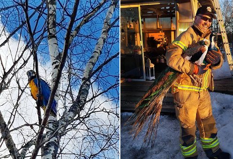 Til venstre ser du papegøyen i Re. Til høyre er påfuglen i Holmestrand i brannkonstabel Rune Andre Hansens trygge grep.