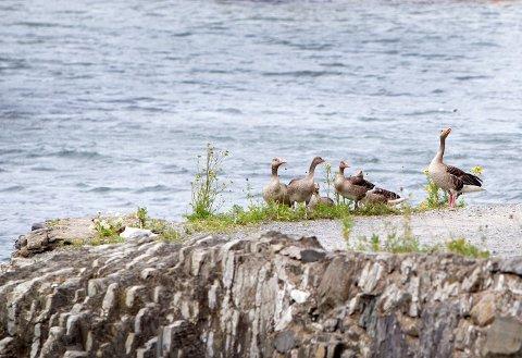 Kanadagås er det lov å jakte på fra 10.8 - 23.12, men i Aust Agder er det utvidet jakt på arten fra 26.8 - 23.2.