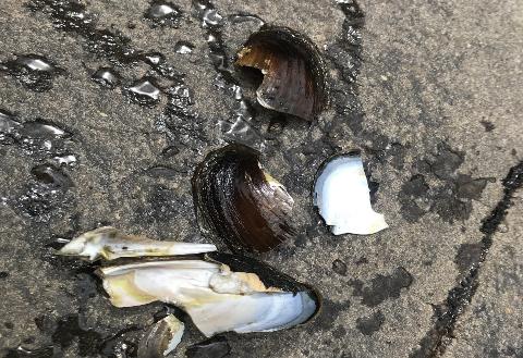 KNUST: En fisker oppdaget skall og knuste rester etter en elvemusling ved de nederste hølene i elva Sokna i Sogndalstrand.