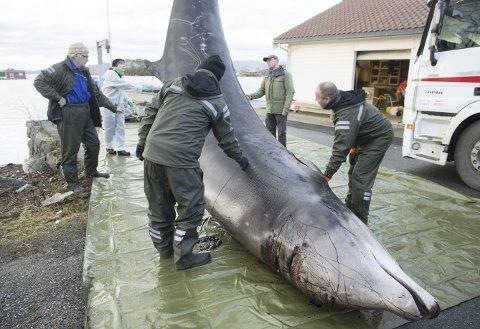 Forskere forbereder frakten av gåsenebbhvalen.