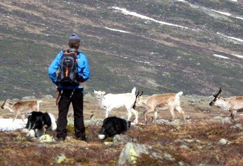 STYRKET VAKTHOLD: Tamreinlagene i Vågå og Lom har fått 15.000 kroner hver til å dekke utgiftene til ekstra vakthold nå som det er ulv i området. Foto: Vidar Heitkøtter