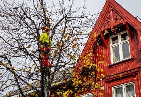 Harald Smit fra Innlandet trepleie er oppe i et tre i gågata på Lillehammer for å fjerne greiner.