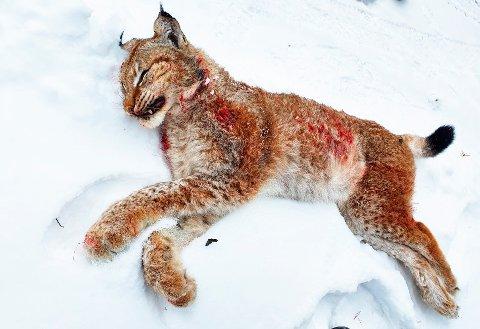HANNGAUPE FELT: Gaupa hadde tatt en hjort i Bøverdalen i Lom dagen før.