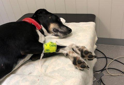 SYK: Ellie får behandling hos veterinær. Klikk på pila eller sveip for å se flere bilder.