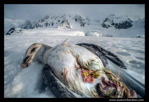 SENSURERT: Audun Rikardsens prisvinnende bilde fra Svalbard ble tildekket av Facebook. Det får fotografen til å reagere. Bildet er tatt på Svalbard, og viser en død havhest, som hadde en stor cyste med plast i fordøyelsessystemet.