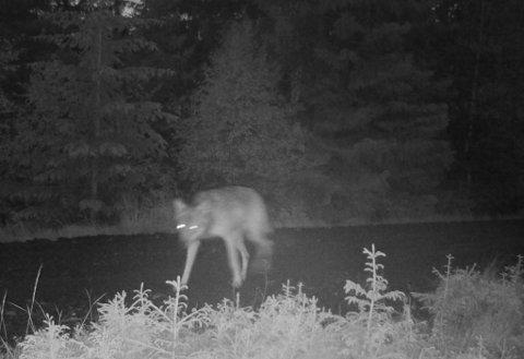 Dette bildet av ulven ble tatt på øståsen i Gran av fellingslagets eget viltkamera i juni.