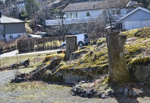 IKKE TILLATT: Tre verneverdige eiketrær er felt på en eiendom i Industriveien. To av stammene står fortsatt igjen.