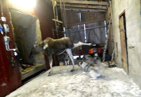 IRRITERT: Skogens konge kan ikkje fordra dei små elgbikkjene rundt seg, og prøvar å sparke dei vekk. Foto: Halvor Bjåland