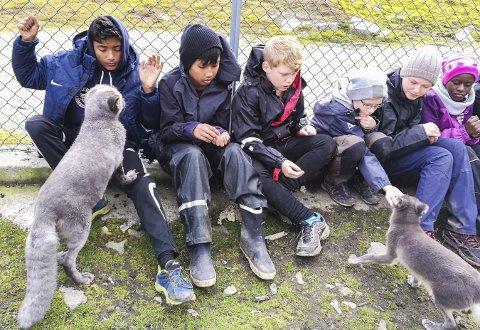 Nærkontakt: Elever fra Søndeled og Åssiden får hilse på fjellrevene på nært hold. De er ingen sjenerte krabater.