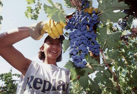 Sangiovese – også kalt Brunello – er Toscanas berømte drue. Den kan lage noen av Italias aller beste rødviner. Her er det innhøsting av Sangiovese-druer hos Castello Banfi i Montalcino.