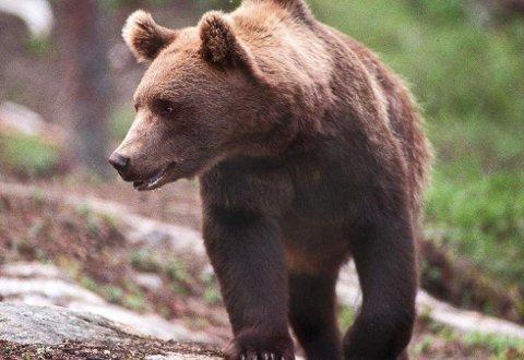 Bjørnen som har drept fire sauer på Vestmarka i Åsnes er sporløst forsvunnet.