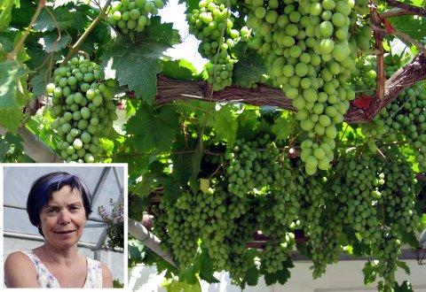Druer: Flere har lyst til å lære hvordan man dyrker druer. Nå inviterer Kongsberg Hagelag til et møte om nettopp dette. (Illustrasjonsbilde)