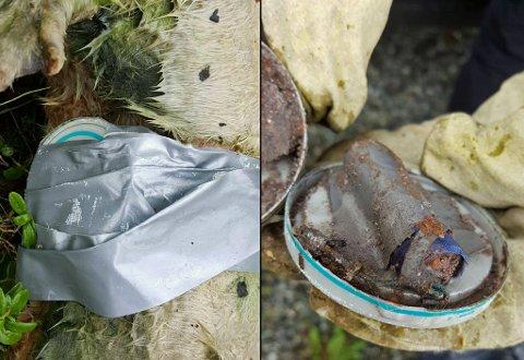 KRUTT: Dyret hadde gaffateip rundt magen. Innenfor teipen fant Rita Øien og kollegene en snusboks med batteri, ledning og krutt.