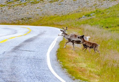 MYE DYR: Mange ferdes på veiene i Nord-Norge i sommer og Statens vegvesen har fått nesten daglige meldinger om reinsdyr og sauer som går langs veien eller går inn i tunnelene for å kjøpe seg ned. Foto: Statens vegvesen.