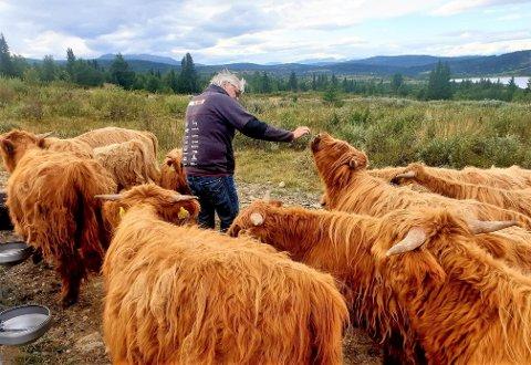 RASEDYR: Hermundstad har valgt skotsk høylandsfe til produksjonen sin. FOTO: ANNE KARIN SKJÆR