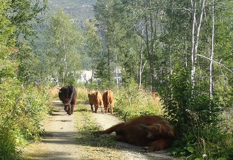 Døde: På skogsbilveien i Grane lå det fredag formiddag to døde husdyr. Levende dyr fra samme rase oppholdt seg i samme område, og virket svært interesserte i sine døde venner.