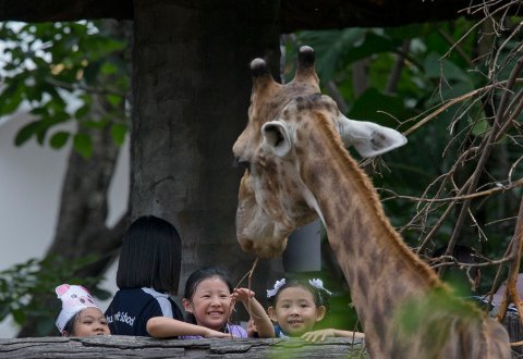Children reach out to a giraffe at the Dusit Zoo in Bangkok, Thailand, Wednesday, Aug. 15, 2018. The zoo, a popular spot for Bangkok families, is due to close at the end of August, 2018 and eventually reopen at a new location north of the city. In the meantime, its more than 1,000 animals are to be sent to other zoos around the country. (AP Photo/Gemunu Amarasinghe)