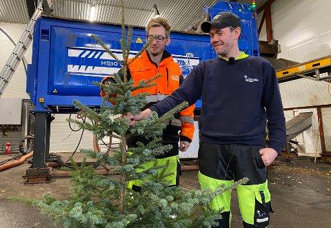 Ikke matavfall: Dennis Kristensen og Inge Olsen kommer med en klar oppfordring om at juletreet ikke må kappes opp og kastes i matavfallsdunken, men leveres som hageavfall til Iris.