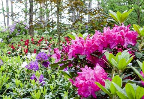Fargepalett: Rhododendron-plantene finnes i en rekke farger, og de er plantet i grupper for å gi et flott helhetsinntrykk. Bildet er tatt i plantefelt nummer en.
