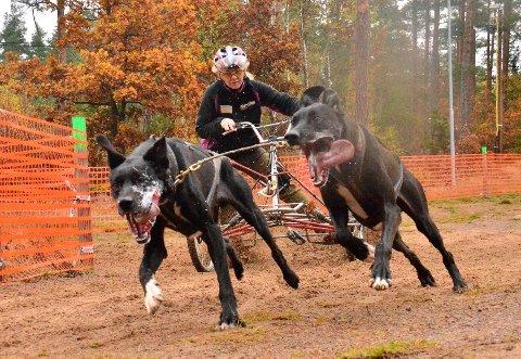 Hege Ingebrigtsen og hundene jakter VM-medalje i helgen.