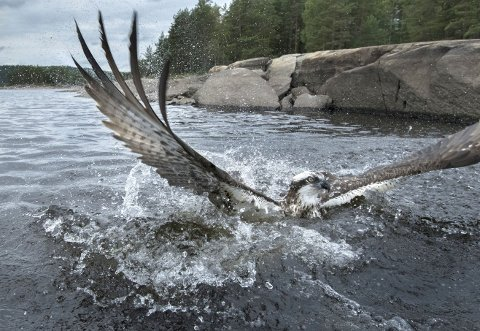 FISKEØRN: Du trenger ikke dra lenger enn til Iddefjorden for å se fiskeørn, men du må ha flaks eller smøre deg med tålmodighet. Dette bildet brukte Jørn Bøhmer Olsen flere uker på å få tatt.