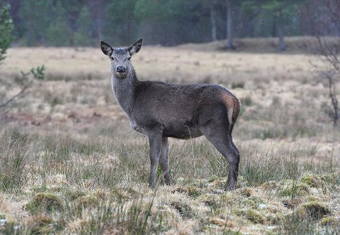 Det var mistanke om skrantesjuke hos en hjort som ble felt i Etne 11. september. Endelige prøvesvar viser at det dreier seg om den varianten som regnes som ikke-smittsom.