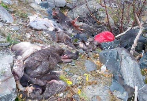 KADAVER: Her ved en rasteplass i Kvenvik i Alta ble det torsdag funnet elgkadaver og reinskinn.