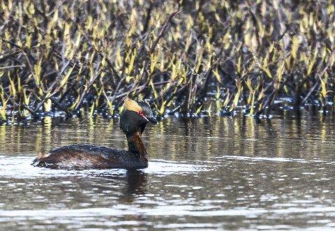 Horndykker: Denne enslige horndykkeren svømte rundt i Borrivatnet. Det kan tyde på at hunnen lå på reir.
