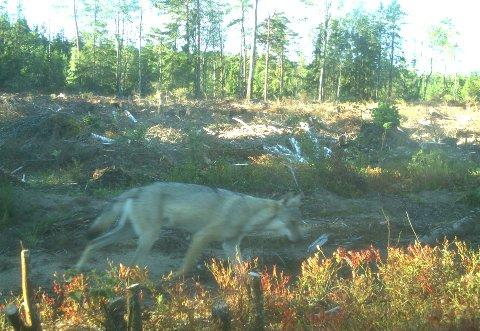 FORBEREDER JAKT: Jeger- og firskerforbundet i Østfold er i gang med forberedelsene til ulvejakt.
