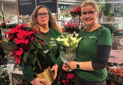 JULEFAVORITTER: Camilla Lien og Nina Bjerke Aaslund ved Mester Grønn har flere julefavoritter. Blant annet den klassiske Julestjerna.