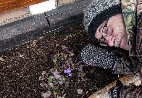VÅRTEGN: Blåveisen i husveggen er et vårtegn Sin Sparby setter pris på.