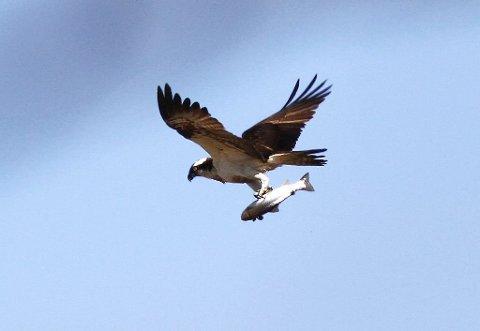 OVER 300 ARTER: Bare i Færder nasjonalpark er det registrert over 300 arter. Her sees en fiskeørn på som har slått kloa i en stor ørret.
