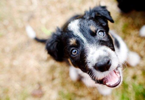 Har du ønsket deg hund i år, er du ikke alene. Foto: Kyrre Lien / NTB