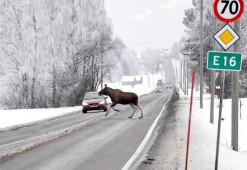 Bildet viser en elg krysser E16 på Steinsletta. Bilisten så elgen, og unngikk sammenstøt.