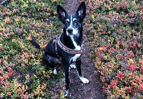 HIMINGEN: Laika ble borte fra toppen av Himingen ved 18-19-tida mandag. Tipsa er veldig snill og glad i alle mennesker, forteller en fortvilet eier, som savner hunden sin.
