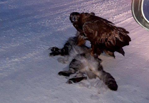 TOK KATTEN: Anne-Lise Olsen og mannen trodde først det var en hund i veien. Men det var en ørn sto med klørne i ryggen på katten. Dette var på veien mellom Sommervika og Liland