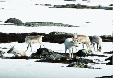 Reinstammen i Rondane har blitt kraftig fragmentert de siste tiårene.  Villreinutvalget roper et kraftig varsko og ber om at lokalpolitikere Rondane rundt engasjerer seg.