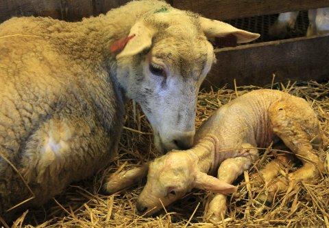 Sau nummer 60027 har blitt mor og slikker sin førstefødte. Det gjør at den lille værlammet livner til, og at melkeproduksjonene starter hos søya.