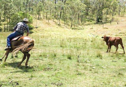 COWBOY: Odd-Erik Westreng har tilbragt 11 måneder med å drive kveg fra hesteryggen, i tillegg til å jobbe som mekaniker, lære backpacere å felle trær for å lage gjerdestolper, kjøre skurtresker og trene polocrosshester for verdens beste polocrosslag. – Etter en slik tur blir man takknemlig for alt man har hjemme, sier han.  foto fra Australia: Privat