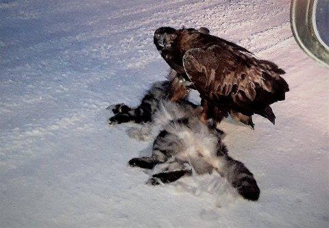 Anita Nylund er bekymret over at ei ørn søndag tok ei kråke midt i bebygd strøk på Leland. - Folk må være obs og passe på kjæledyrene sine, sier hun.