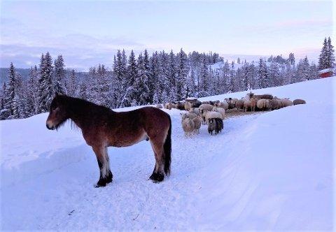 REDDET: En hest og over 20 sauer ble reddet ut da det begynte å brenne i fjøset hos Linn Henriksen i Hedalen.