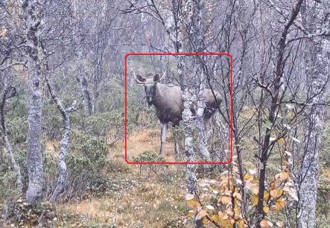 Denne elgoksen slapp å vandre til de evige jaktmarker - nå rusler den videre i skogen.