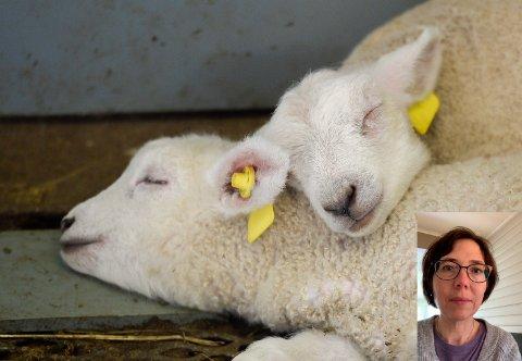 Disse nyfødte lammene har det godt, men Mattilsynet er helt avhengige av at folk tipser dem om dyr som ikke har det bra. - Det setter vi stor pris på, sier Hege Osen (innfelt), som er seksjonsjef for landdyr og slakteri i Mattilsynet avdeling Helgeland.