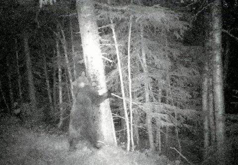 Samme: DNA prøver viser at bjørnebinna, BI406278 NT125, på dette bildet som er tatt for litt over en uke siden, er den samme som ble registrert ved flere anledninger i Roktdalen i fjor sommer.