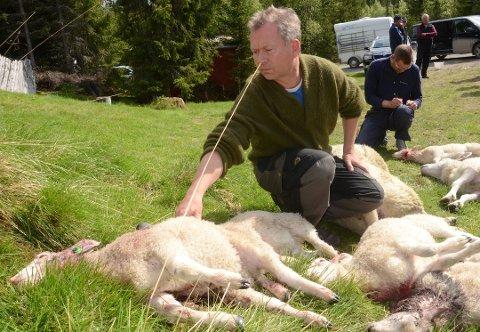 HADELAND:Kjetil Ulset i Gran saubeitelag sier at rask reaksjon fra fylkesmannen vitner om at de har lært noe fra fjorårssesongens ulvesommer.